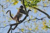 Central American Spider Monkey