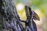 Striped-Basilisk-(Basiliscus-vittatus)---Cotton-Tree---6599pg