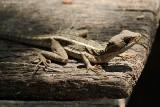 Striped-Basilisk-(Basiliscus-vittatus)---Crooked-Tree---8860.jpg