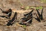 Dark Kite Swallowtail