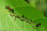 Ant Tending Leafhopper Nymphs
