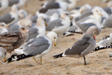 California Gull and Heermann's Gull