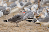 Heermann's & California Gulls