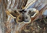 Saturnia pyri - Giant Peacock Moth