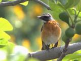 White-throated Robin (Irania gutturalis)
