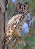 Long-eared Owl   (Asio otus )