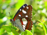 Southern white admiral - limenitis reducta
