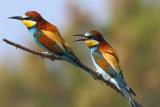 Bee-eater ( Merops apiaster )