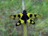 OwlFly ! Libelloides macaronius