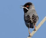 Ruppells Warbler (Sylvia rueppelli)
