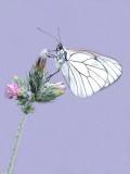 Aporia crataegi - Black-veined White.