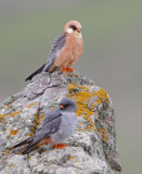 Red Footed Falcon (Falco vespertinus )  Road to Petrefied Forest