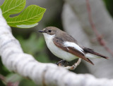 Pied-Flycatcher ( Ficedula hypoleuca )  Faneromeni track to lower ford