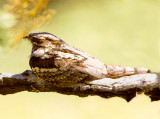 Nightjar (Caprimulgus europaeus ) Fanoromeni