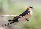 Red-rumped-Swallow (Hirundo daurica )  Petri