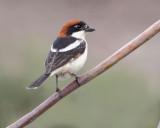 Woodchat-Shrike ( Lanius senator )  Faneromeni. lower ford area!.