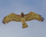 Short-toed (snake)  Eagle  (Circaetus gallicus)   Eftalou