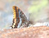 Two tailed Pasha - Charaxes jasius  Petra September 2014
