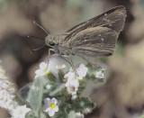 Millet-Skipper - Pelopidas thrax  Eftalou Sept 2014