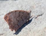 Neohipparchia fatua - Freyers-Grayling.    S.Eressou