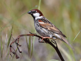 Spanish-Sparrow.-  (Passer hispaniolensis)