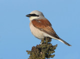 Red--backed-Shrike - Lanius collurio