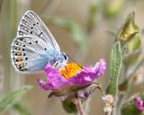 Amandas-Blue - Polyommatus amandus