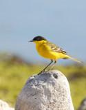 Yellow wagtail - Mottacilla flava feldegg