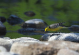 Citrine-wagtail - Motacilla citreola