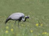 Demoiselle crane (Anthropoides virgo)