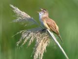 Great-reed-warbler - Acrocephalus arundinaceus