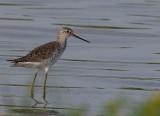 Marsh-Sandpiper - Tringa stagnatilis