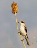 Lesser-grey-shrike - Lanius minor