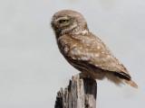 Little-owl - Athene noctua