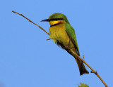 Little Bee-eater - Merops pussillus