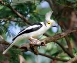 White HelmetShrike - Prionops plumatus