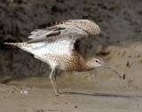 Whimbrel - Numenius phaeopus.