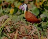 African Jacana - Actophilornis africanus