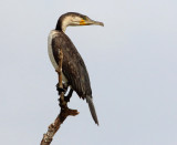 Great Cormorant - Phalacrocorax carbo lucidus