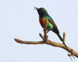 Beautiful Sunbird - Cinnyris pulchellus