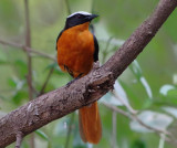 Snowy-crowned Robin Chat - Cossypha niveicapilla