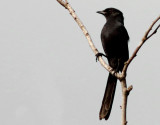 Northern Black Flycatcher - Melaenornis edoliodes
