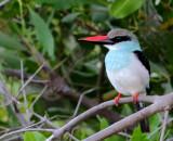 Blue-Breasted Kingfisher - Halcyon malimbica