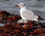 Grey Headed Gull - Larus cirrocephalus
