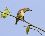Beautiful Sunbird - Cinnyris pulchellus (Female)