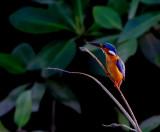 Malachite Kingfisher - Alcedo cristata