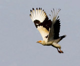 Palm-nut Vulture - Gypohierax angolensis