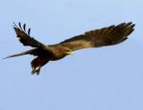 Yellow-billed Kite - Milvus migrans parasitus