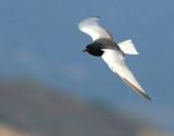 White-winged black tern - Chlidonias leucopterus