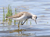 Marsh Sandpiper - Tringa stagnatilis